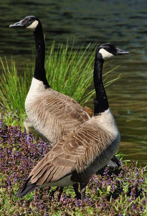 Goose Pair - NatureBabe Photos