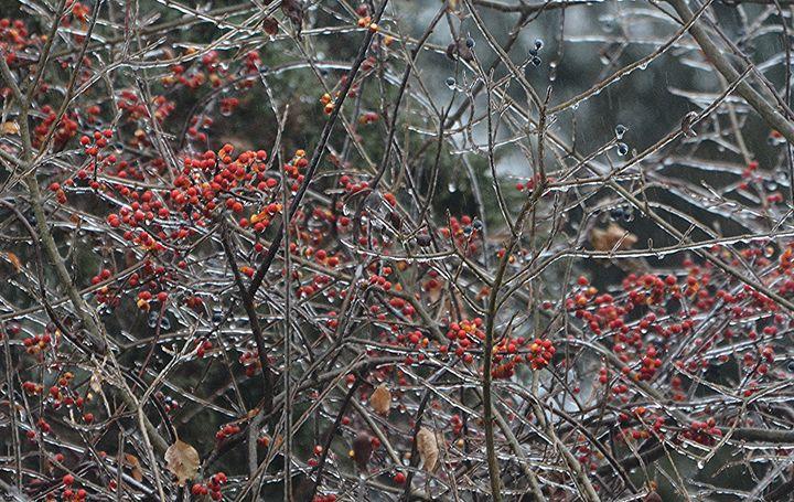 Ice Covered Berries - NatureBabe Photos
