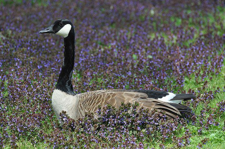 Mother Goose - NatureBabe Photos