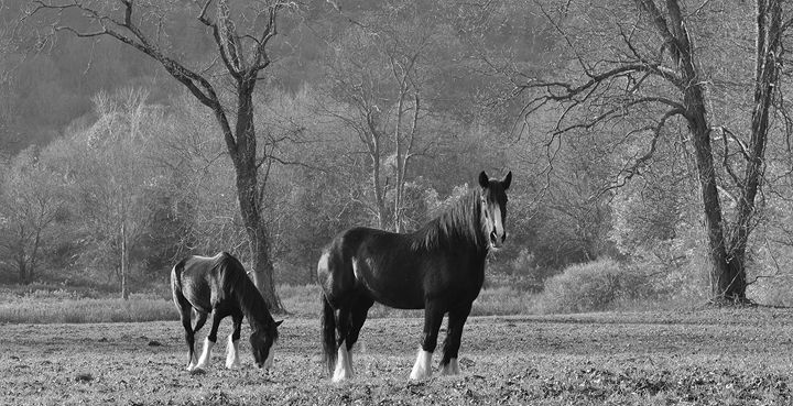 Shire Horses in the Field - NatureBabe Photos