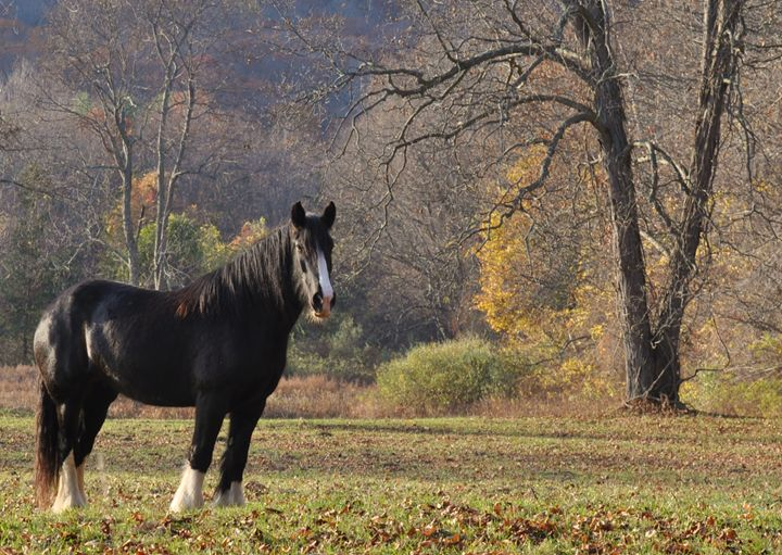 Shire Horse in November - NatureBabe Photos