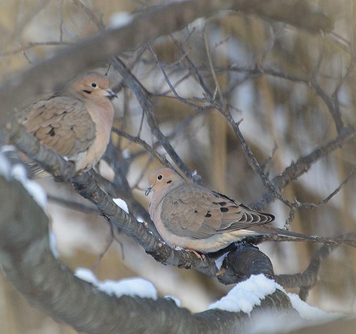 Camouflaged Mourning Doves - NatureBabe Photos