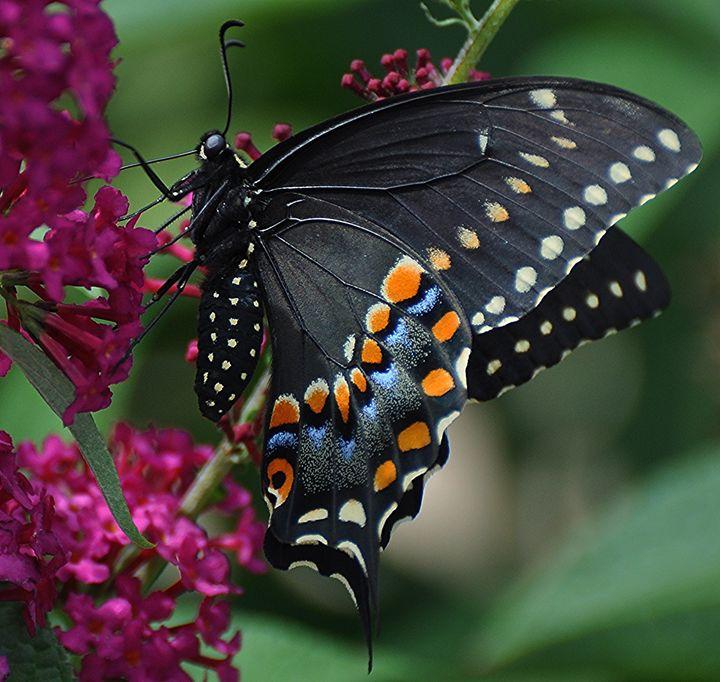 Eastern Black Swallowtail - NatureBabe Photos