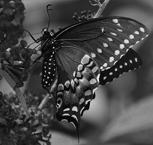 Black Swallowtail - NatureBabe Photos