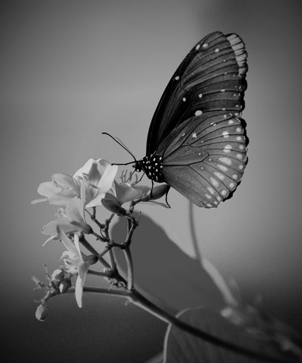 Dramatic Butterfly - NatureBabe Photos
