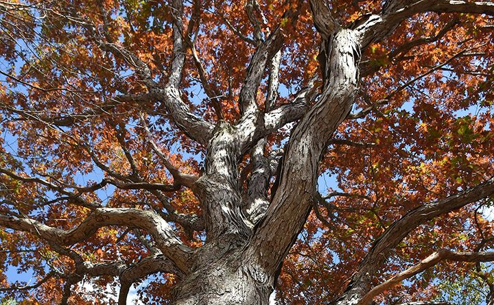 A Century's Old Oak - NatureBabe Photos