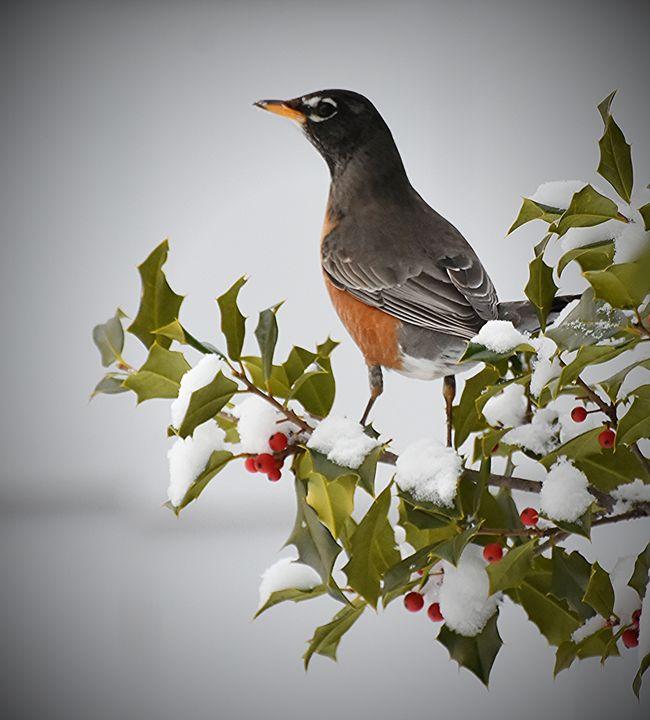 American Robin in Snowy Holly Tree - NatureBabe Photos