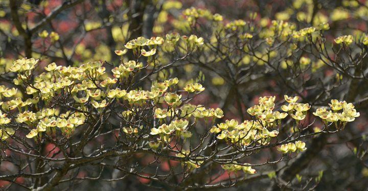 Dogwoods - NatureBabe Photos