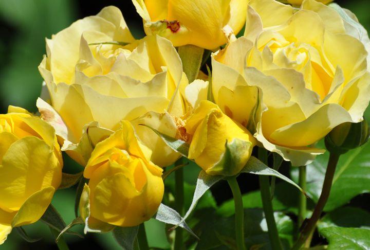 Yellow Roses - NatureBabe Photos