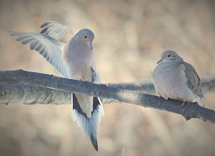 Dove Pair - NatureBabe Photos