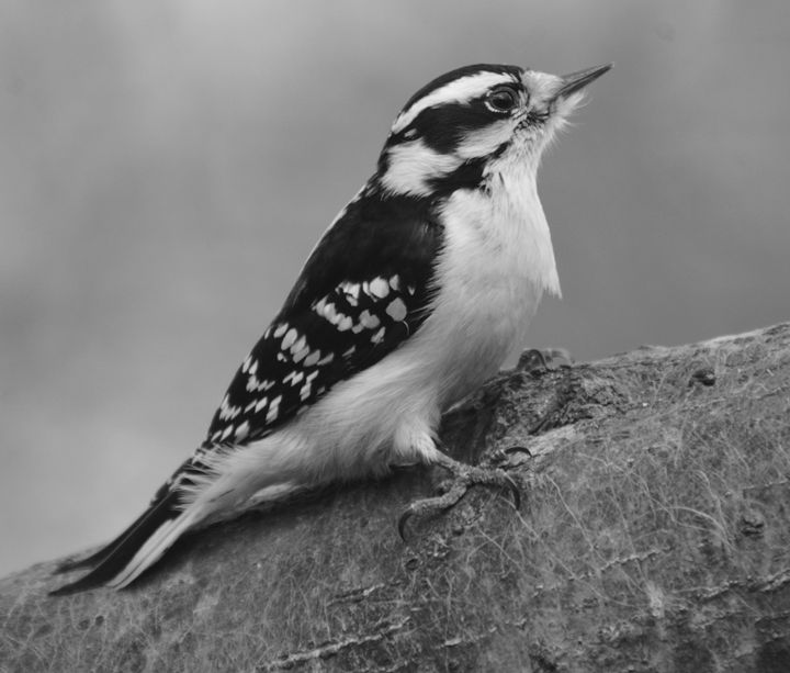 Downy Woodpecker - female - NatureBabe Photos