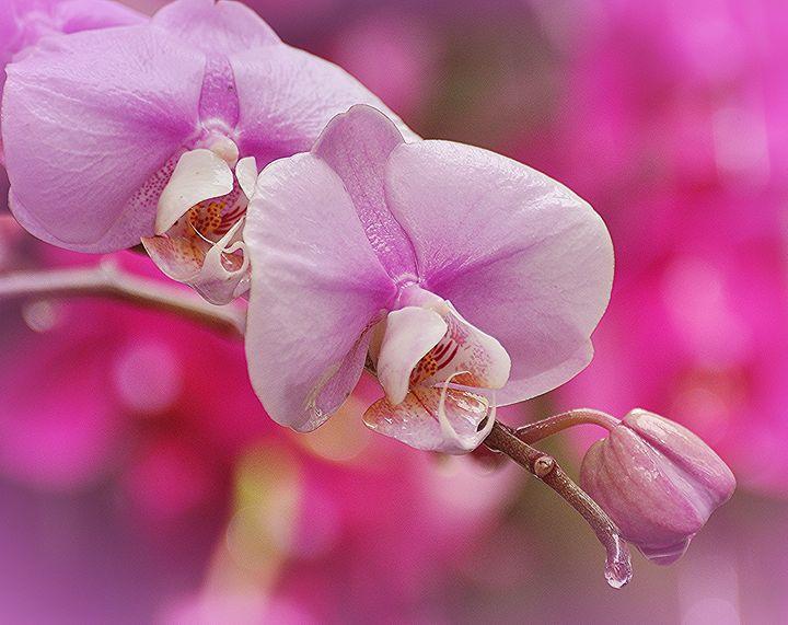 Delicate Orchids - NatureBabe Photos
