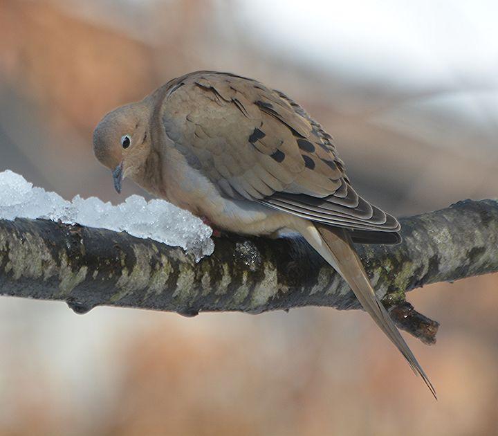 Mourning Dove Eating Snow - NatureBabe Photos