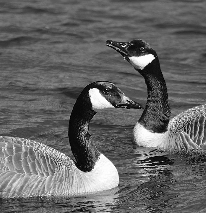 Canada Geese in Black & White - NatureBabe Photos