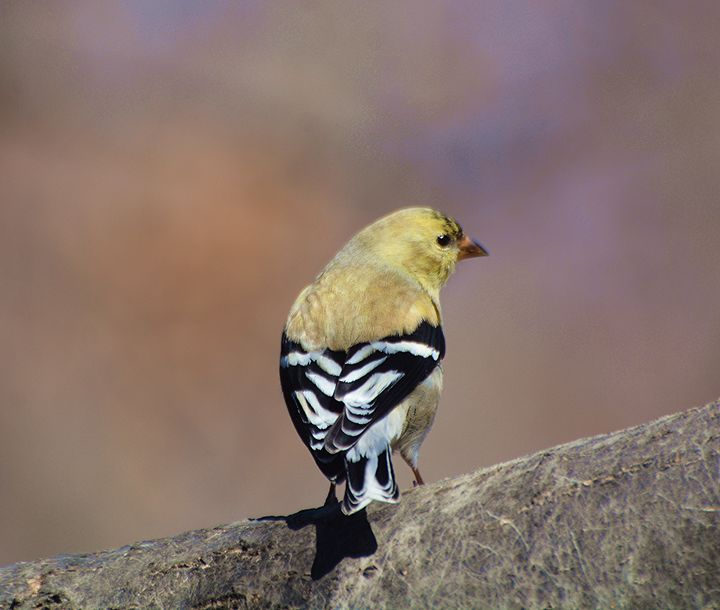 American Goldfinch in Late Winter - NatureBabe Photos