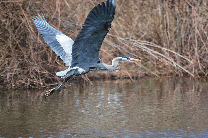 Heron in Flight Over Pond - NatureBabe Photos