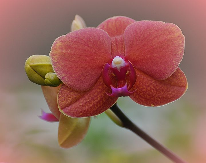 Moth Orchid - NatureBabe Photos