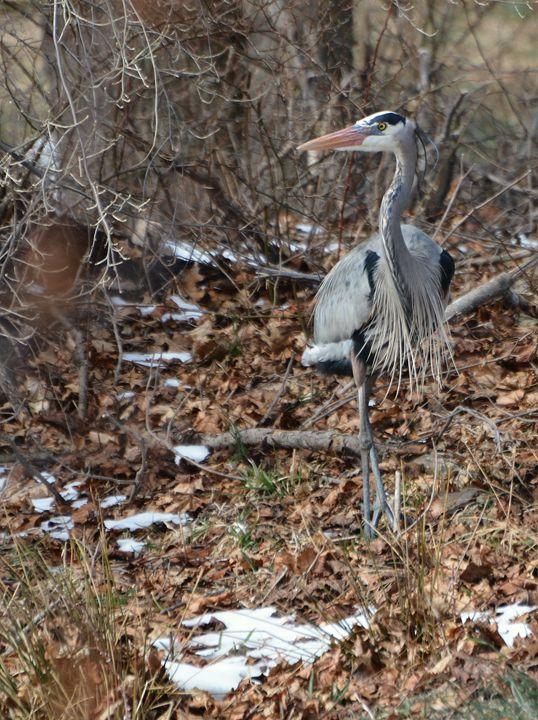 Heron Strikes a Pose - NatureBabe Photos