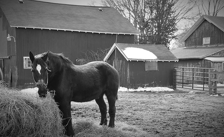 Horse and Barns in Black & White - NatureBabe Photos