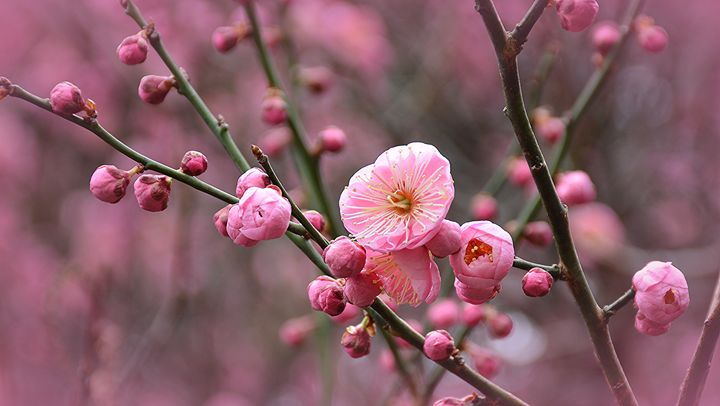 Japanese Plum Blossom - NatureBabe Photos