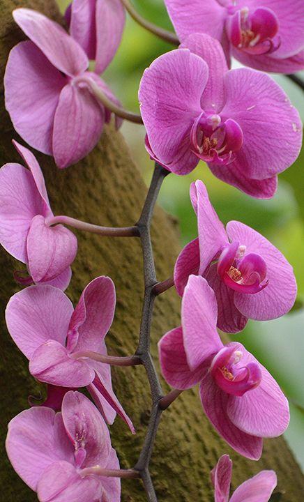 Cascading Orchids - NatureBabe Photos