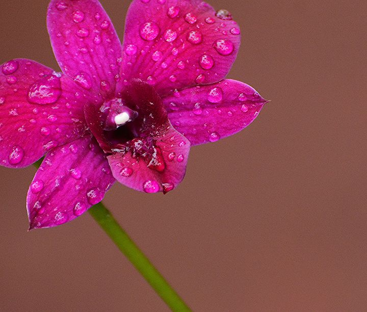 Droplets on Orchid - NatureBabe Photos