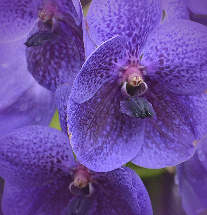 Purple Passion - NatureBabe Photos
