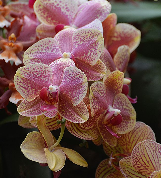 Orchid Cluster - NatureBabe Photos