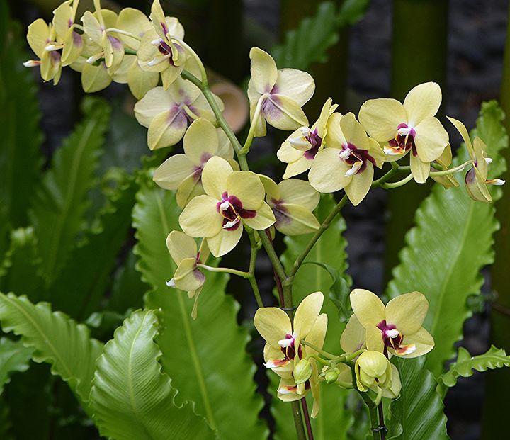 Yellow Orchids - NatureBabe Photos