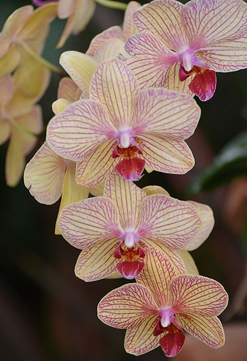 Phalaenopsis - NatureBabe Photos