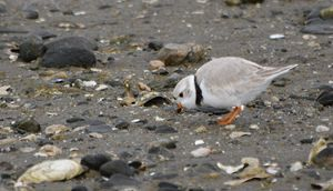 Piping Plover at the Shore - NatureBabe Photos
