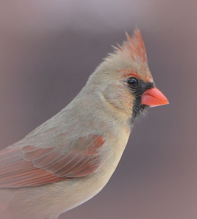 Female Northern Cardinal - NatureBabe Photos
