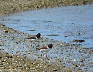American Oystercatchers - NatureBabe Photos