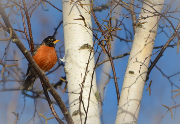 American Robin in Birch Tree - NatureBabe Photos