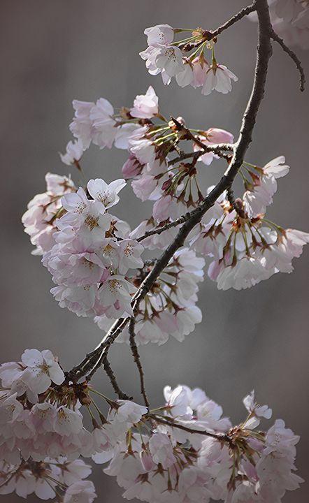 Sakura in Bloom - NatureBabe Photos