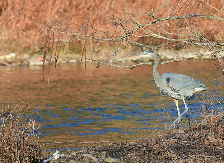 Great Blue Heron on the River - NatureBabe Photos