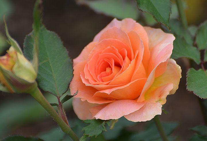 Perfect Peach Rose - NatureBabe Photos