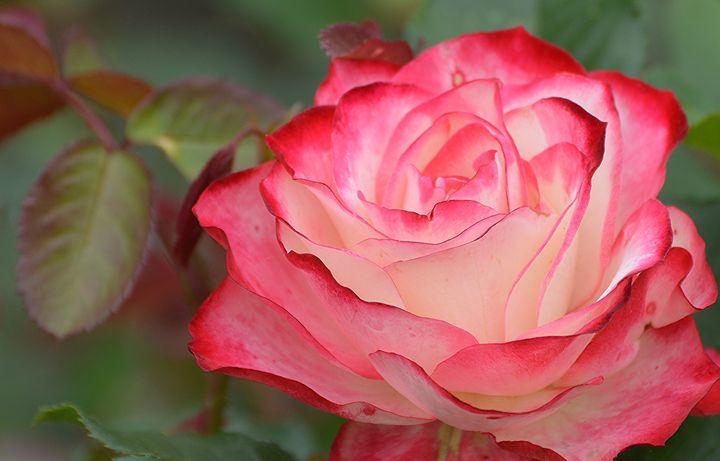 Red and White Rose - NatureBabe Photos