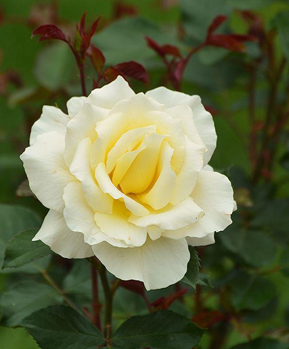 Ivory Colored Rose - NatureBabe Photos