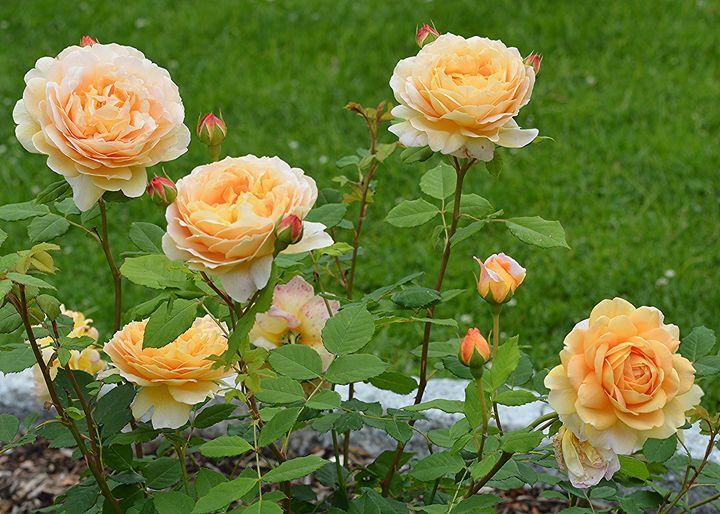 Rose Garden - NatureBabe Photos