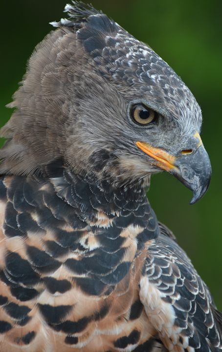 African Crowned Eagle - NatureBabe Photos