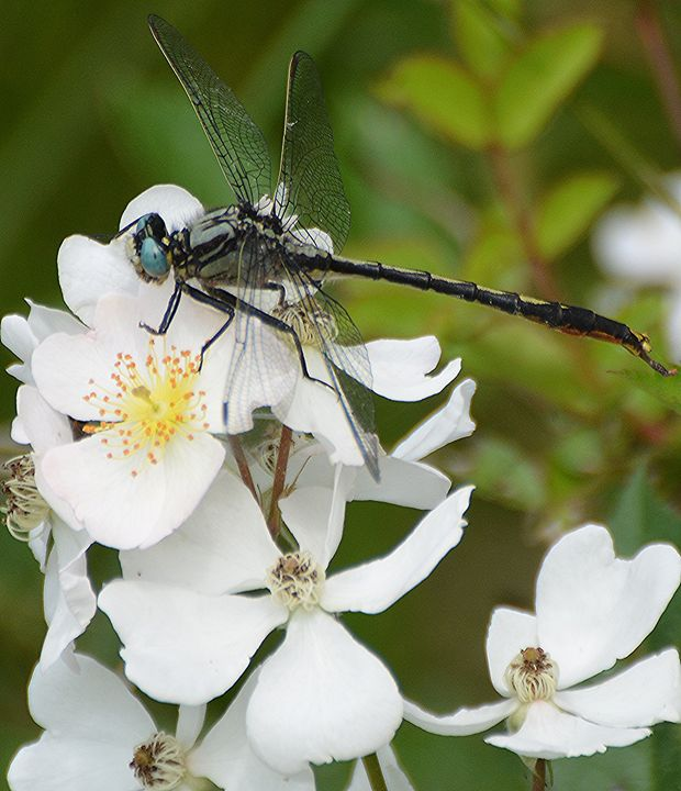 Dragonfly on White Flowers - NatureBabe Photos
