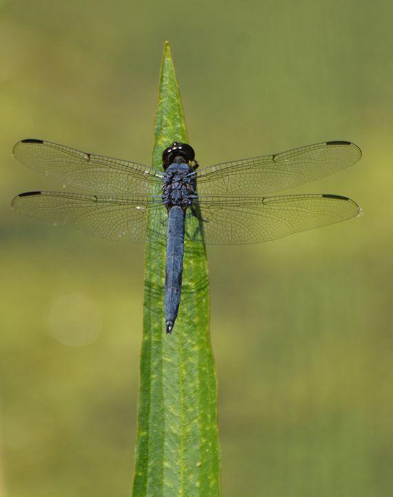 Male Spangled Skimmer Dragonfly - NatureBabe Photos