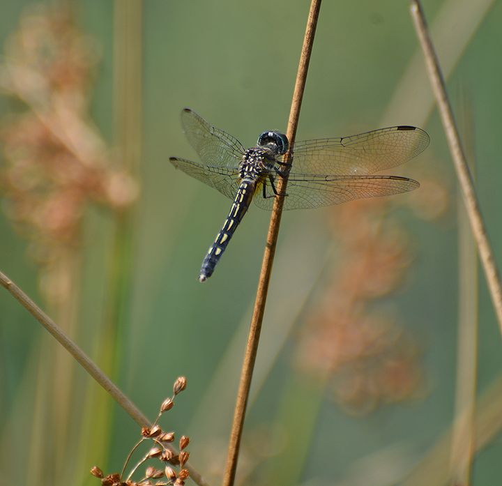 Dragonfly Perched - NatureBabe Photos