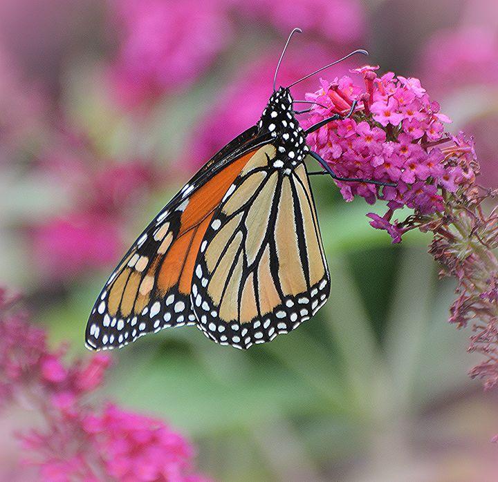 Amazing Monarch - NatureBabe Photos