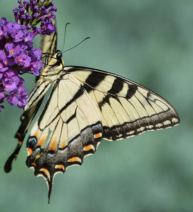 Eastern Tiger Swallowtail - NatureBabe Photos