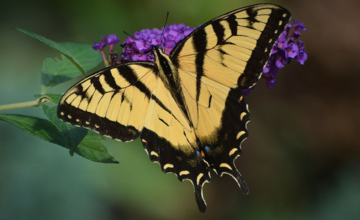 Tiger Swallowtail on Purple Flowers - NatureBabe Photos