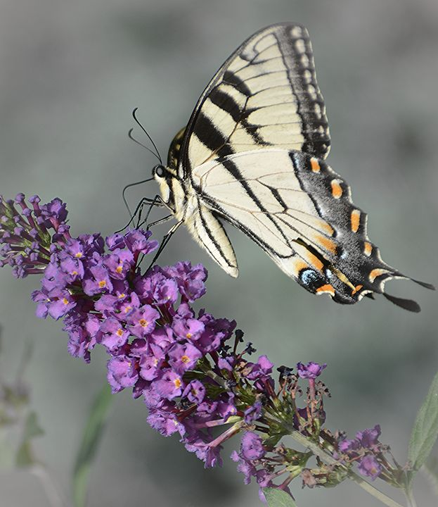 Tiger Swallowtail Striking a Pose - NatureBabe Photos