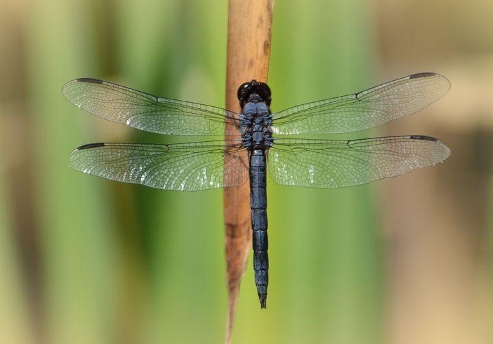 Spangled Skimmer Macro - NatureBabe Photos