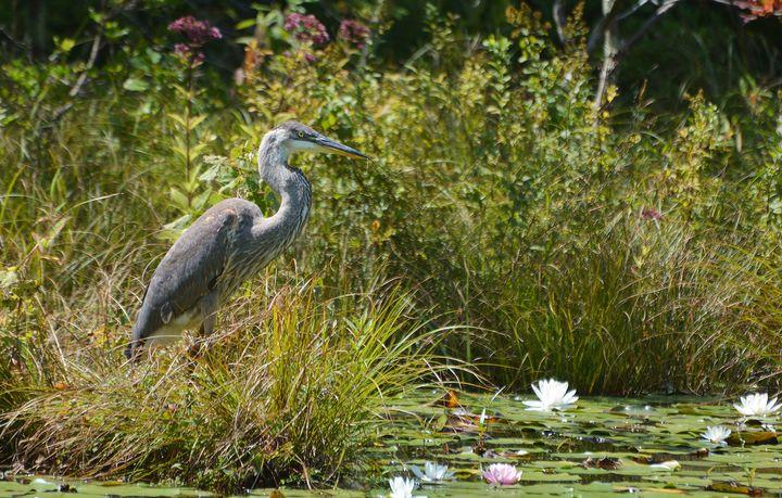 Heron in the Grass - NatureBabe Photos